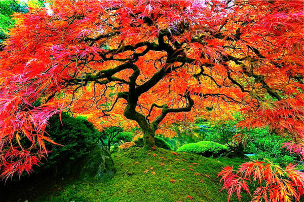 Photograph - Japanese Red Maple by Monique Wegmueller