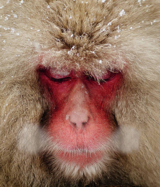 Snow Monkey Photograph - Japanese Snow Monkey Breathing In Cold by Photography By Martin Irwin