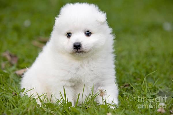 Photograph - Japanese Spitz Puppy by Jean-Michel Labat