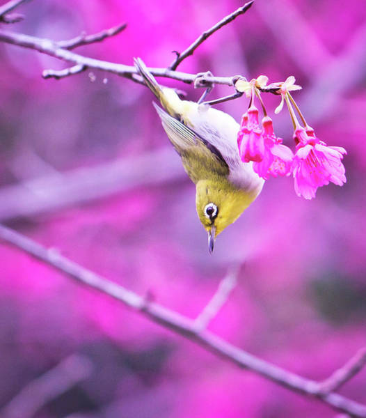 The Philippines Photograph - Japanese White-eyes And Cheery Blossom by Bibi's Photography
