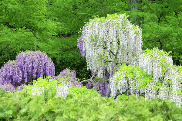 Wisteria Wall Art - Photograph - Japanese Wisteria, Kennett Square by Lisa S. Engelbrecht