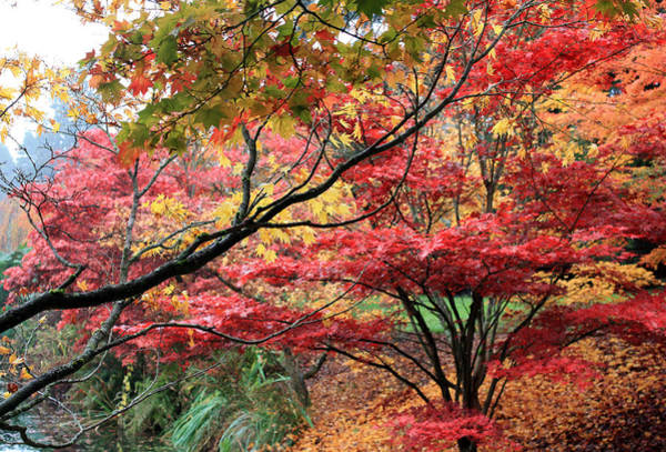 Photograph - Japnese Maples In Fall by Gerry Bates