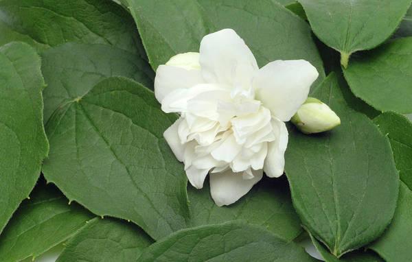 Jasmine Photograph - Jasmine Flower (jasminum Officinale) by Bildagentur-online/th Foto/science Photo Library