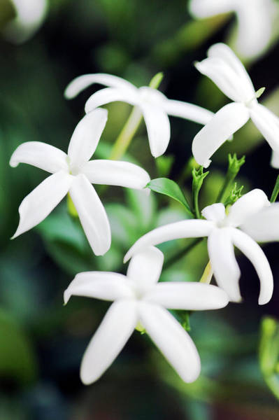 Jasmine Photograph - Jasmine Flowers (jasminum Sp.) by Gustoimages/science Photo Library