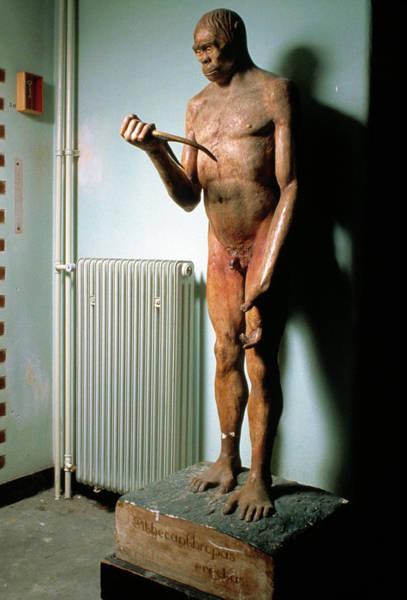 Wall Art - Photograph - Java Man (homo Erectus) by John Reader/science Photo Library