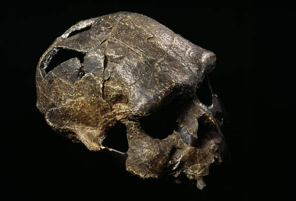 Wall Art - Photograph - Java Man Skull by Pascal Goetgheluck/science Photo Library