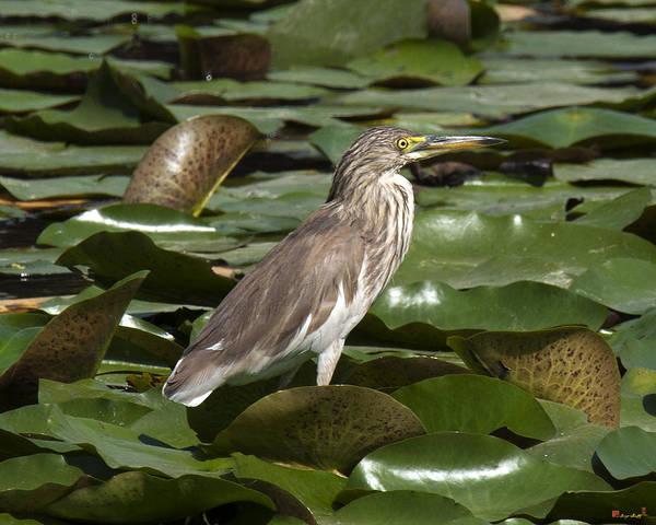 Photograph - Javan Pond Heron Dthn0071 by Gerry Gantt