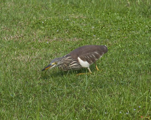 Photograph - Javan Pond Heron Sneaking Dthn0067 by Gerry Gantt