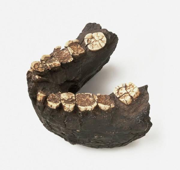 Extinct Photograph - Jaw Bone Of Pliocene Australopithecus by Dorling Kindersley/uig