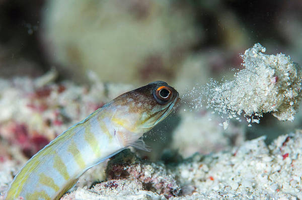 Mabul Photograph - Jawfish Tending Its Burrow by Scubazoo/science Photo Library