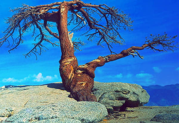 Photograph - Jeffrey Pine Tree On Sentinel Dome by C Sitton