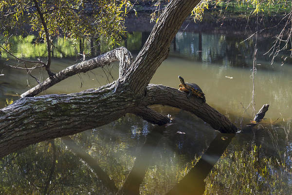 Photograph - Jeffries Creek Fallen Log With A Turtle by MM Anderson