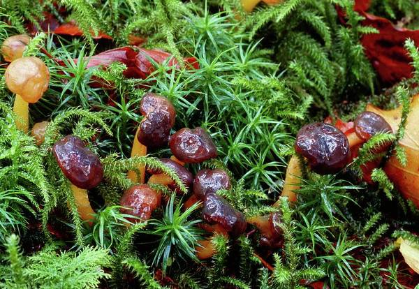 Jelly Belly Photograph - Jelly Baby Mushrooms by John Wright/science Photo Library