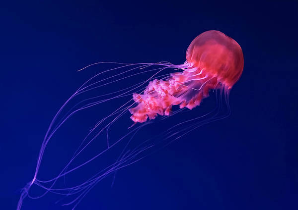 Aquarium Photograph - Jellyfish 2 by David Williams