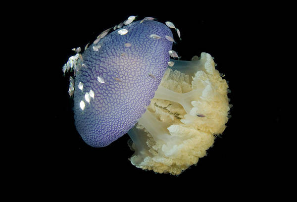 Trevally Photograph - Jellyfish (cnidaria by Jaynes Gallery