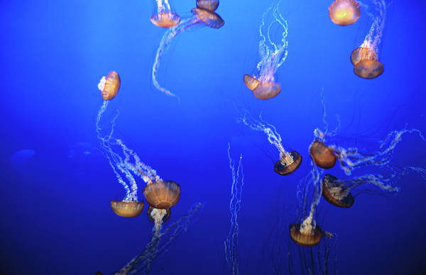 Monterey Bay Photograph - Jellyfish In Monterey Bay Aquarium by Holger Leue