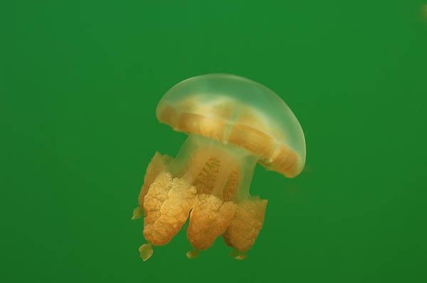 Underwater World Photograph - Jellyfish Lake by Jens Kuhfs