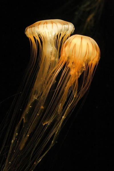 Photograph - Jellyfish On Black by Angela Rath