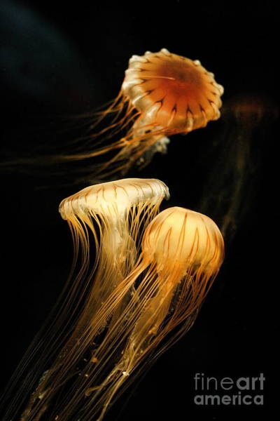Photograph - Jellyfish Trio Floating Against A Black by Angela Rath