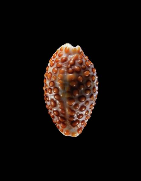 Zoological Photograph - Jenny's Cowry Sea Snail Shell by Gilles Mermet