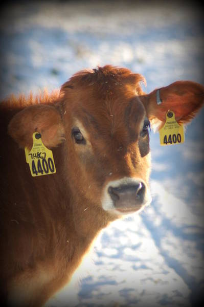 Dairy Barn Digital Art - Jersey 4400 by Trish Hutchins