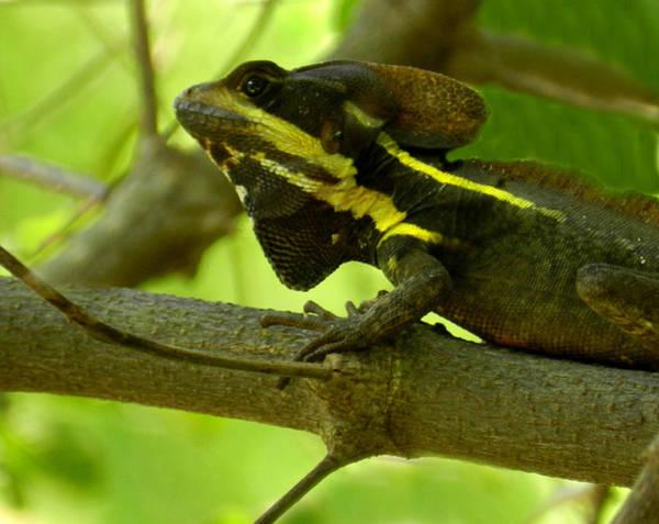 Photograph - Jesus Lizard by Grace Dillon