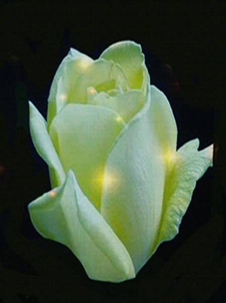 Digital Art - Jewel Of A Rose by Dennis Buckman