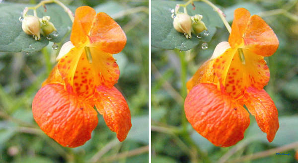 Photograph - Jewelweed Flower In Stereo by Duane McCullough