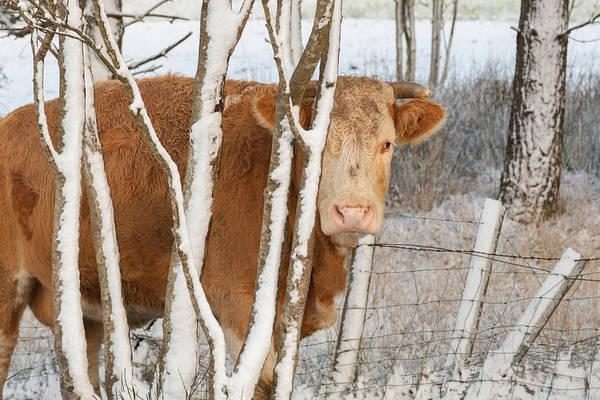 Photograph - Jim's Cow by Brian Grzelewski