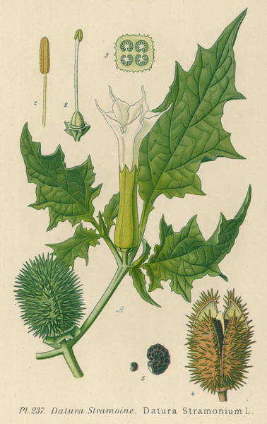 Weeds Drawing - Jimson Weed, Or Thorn Apple, Or Devil's by Mary Evans Picture Library