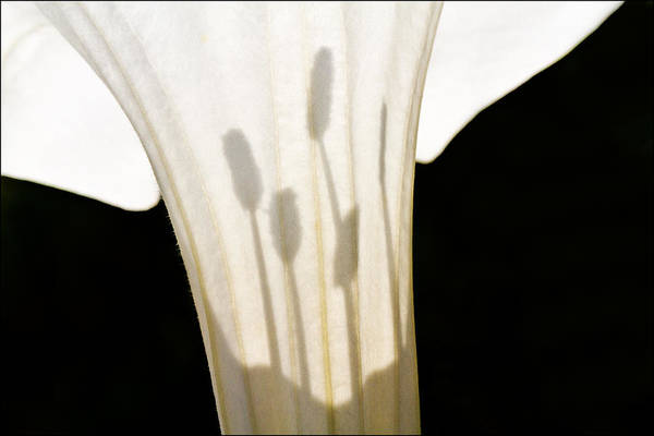 Photograph - Jimsonweed Chiaroscuro by Steven Schwartzman
