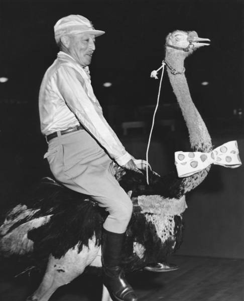 Photograph - Jockey Riding An Ostrich by Underwood Archives