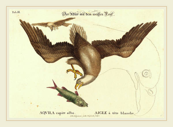 Bald Eagles Drawing - Johann Michael Seligmann After Mark Catesby German by Litz Collection
