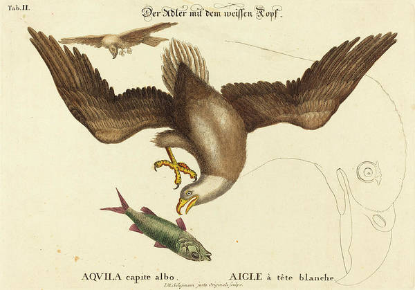 Bald Eagles Drawing - Johann Michael Seligmann After Mark Catesby German by Quint Lox
