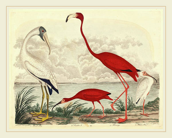 Flamingo Drawing - John G. Warnicke After Alexander Wilson, Wood Ibis, Scarlet by Litz Collection