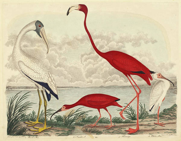 Flamingo Drawing - John G. Warnicke After Alexander Wilson, Wood Ibis, Scarlet by Quint Lox