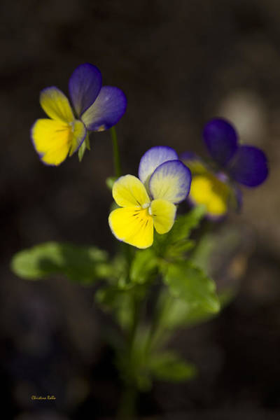 Photograph - Johnny Jump Up - Viola Tricolor Wildflowers by Christina Rollo