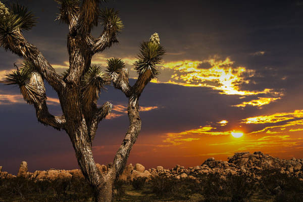 Photograph - Joshua Tree At Sunset by Randall Nyhof