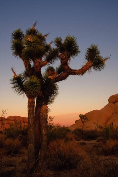 Photograph - Joshua Tree In The Setting Sun by Susan Leonard