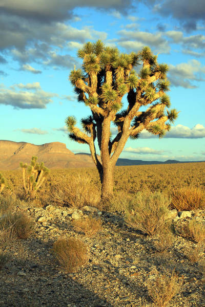 Photograph - Joshua Tree by Jennifer Robin