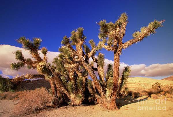Photograph - Joshua Tree Morning In Red Rock Canyon by Yva Momatiuk John Eastcott