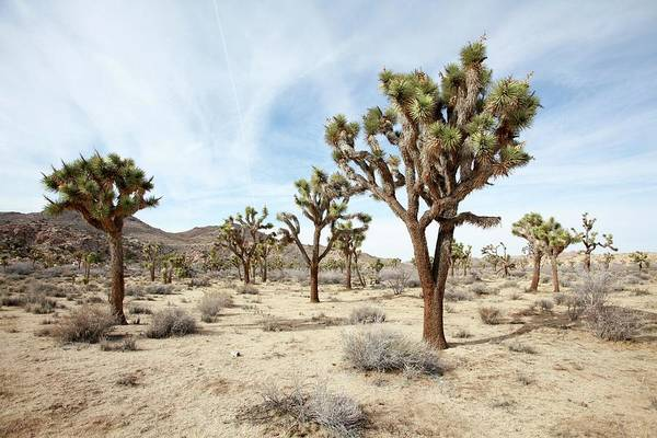Yucca Palm Photograph - Joshua Tree National Park by Photostock-israel/science Photo Library