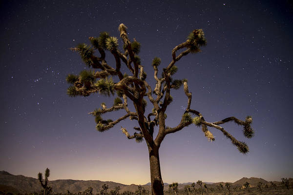 Photograph - Joshua Tree Night by Lee Kirchhevel