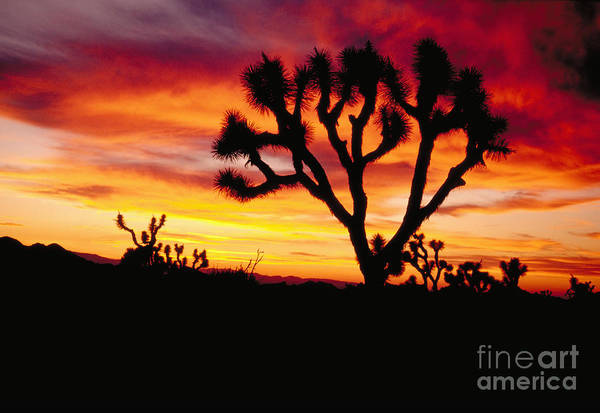 Photograph - Joshua Tree Sunset by Dan Suzio