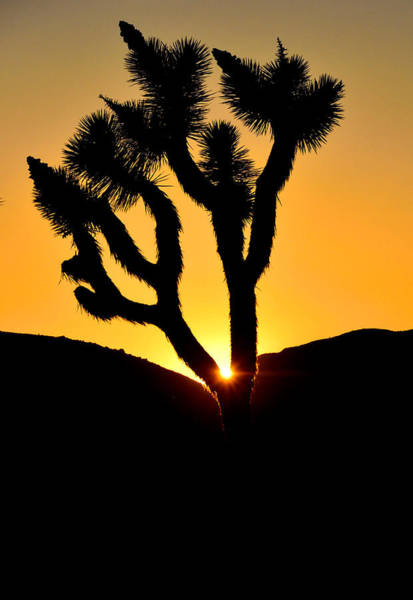 Photograph - Joshua Tree Sunset by Tranquil Light  Photography
