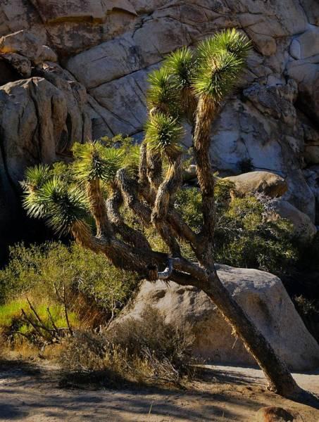 Photograph - Joshua Tree by Walt Sterneman