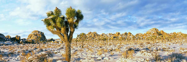 Yucca Brevifolia Photograph - Joshua Tree Yucca Brevifolia Forest by Panoramic Images