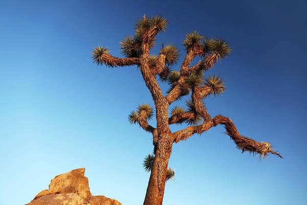 Yucca Palm Photograph - Joshua Tree (yucca Brevifolia) by Michael Szoenyi