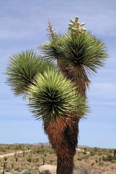 Yucca Palm Photograph - Joshua Tree (yucca Brevifolia) by Michael Szoenyi/science Photo Library