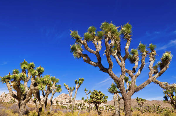 Wall Art - Photograph - Joshua Trees Along The Trail by Russ Bishop